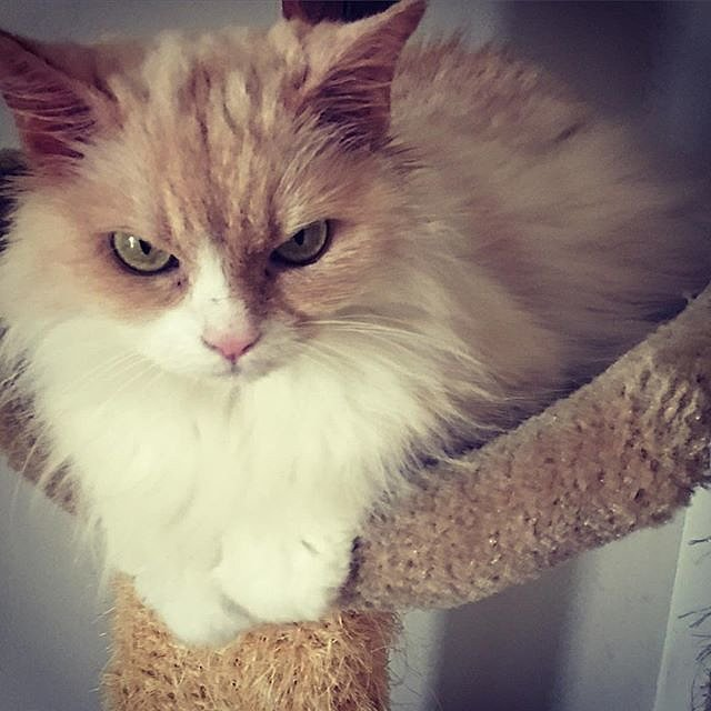 Angry-Pearl-Cat-Instagram