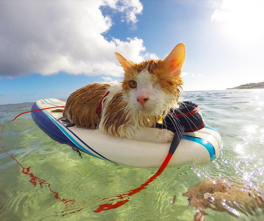Beautiful-One-Eyed-Cat-Who-Loves-Surfing-In-Hawaii-1