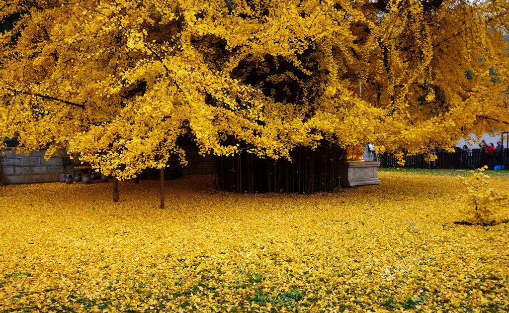 From-1400-years-turns-a-garden-in-a-beautiful-carpet-of-golden-leaves-3