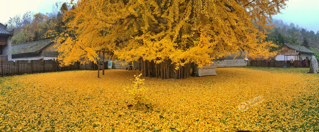 From-1400-years-turns-a-garden-in-a-beautiful-carpet-of-golden-leaves-7