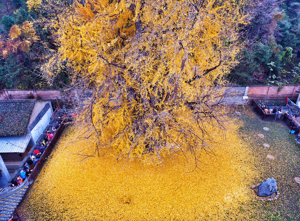 From-1400-years-turns-a-garden-in-a-beautiful-carpet-of-golden-leaves-8