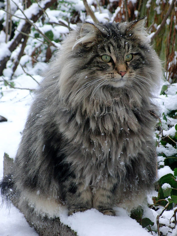 The-biggest-cats-in-the-world-12