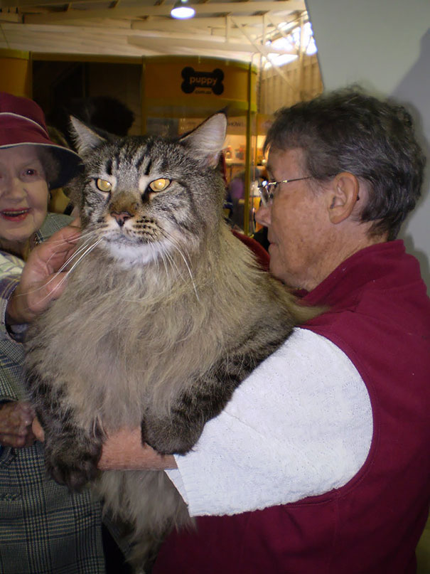 The-biggest-cats-in-the-world-13
