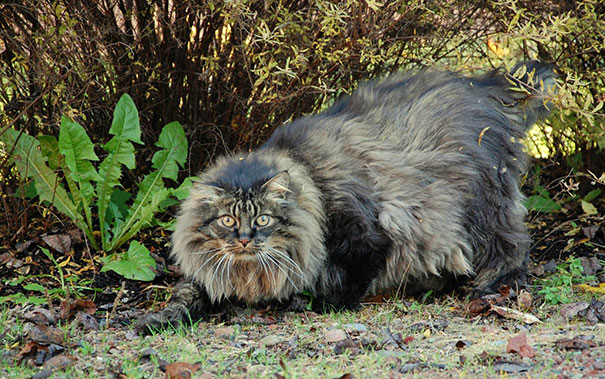 The-biggest-cats-in-the-world-14