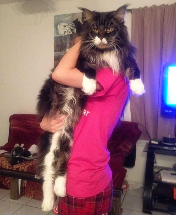 The-biggest-cats-in-the-world-16