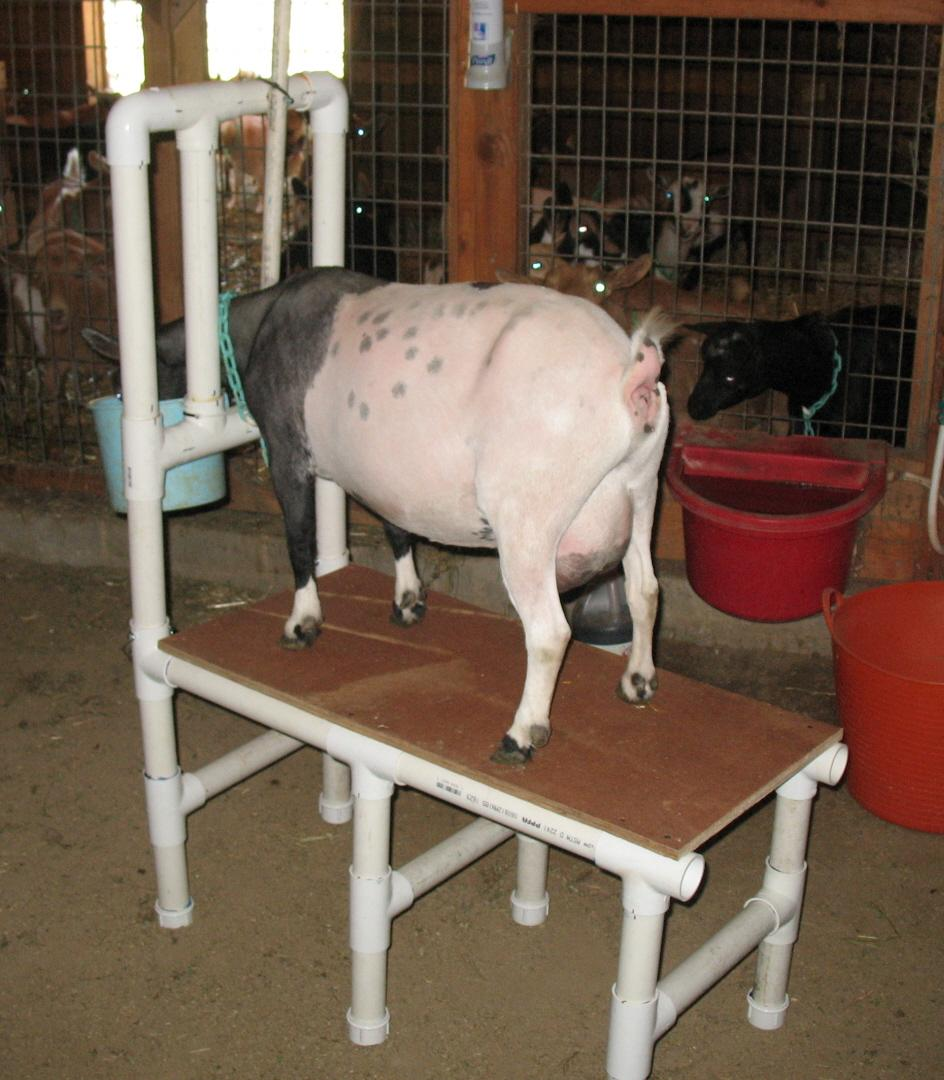 3 PVC Milking Stand